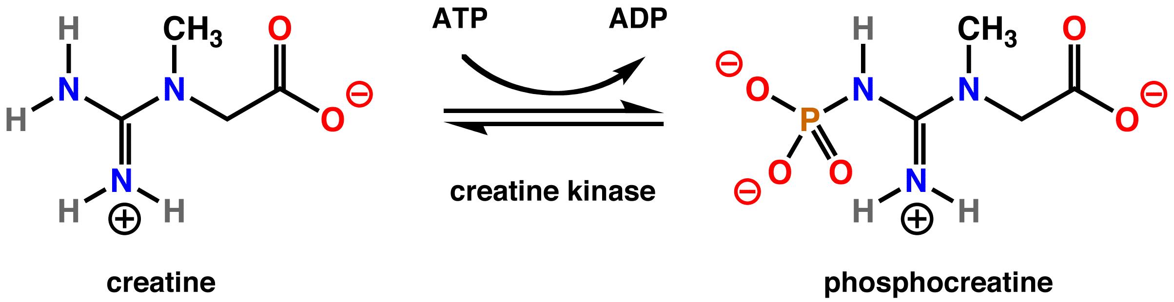 molécula de creatina
