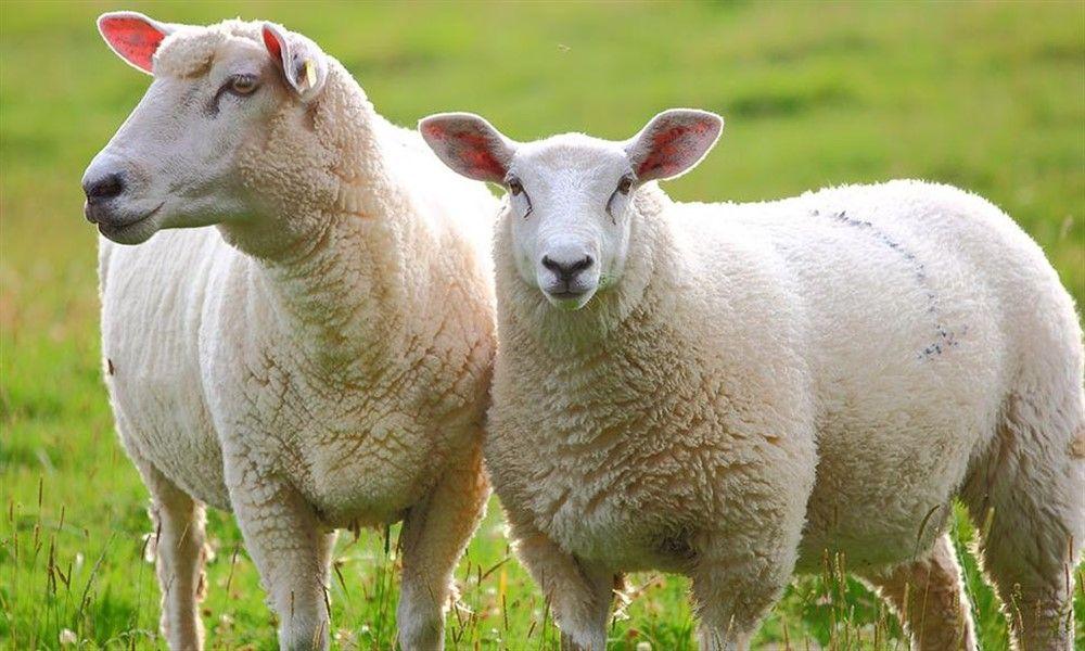Leche de oveja