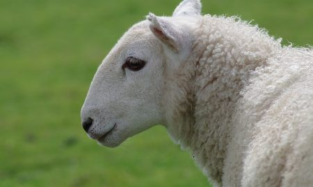 leche de cabra vs leche de oveja
