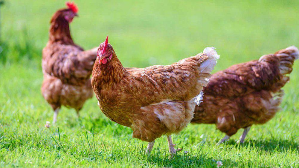 Categorías de los huevos 0 y 1 gallinas al aire libre