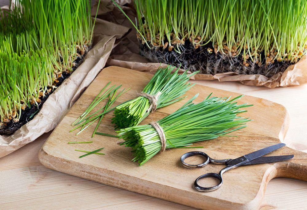 Hierba de trigo cultivada en casa